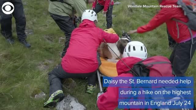 WATCH: St. Bernard Rescued From Mountain In England