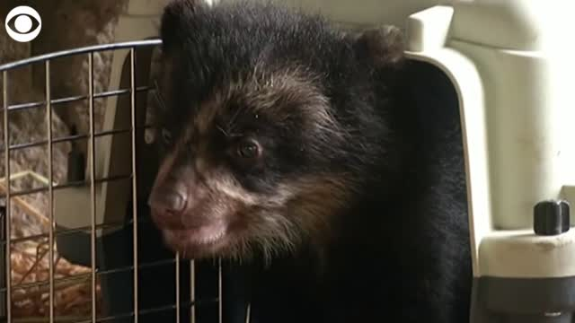 Watch: Spectacled Bear Cub Is New Addition At Peruvian Zoo