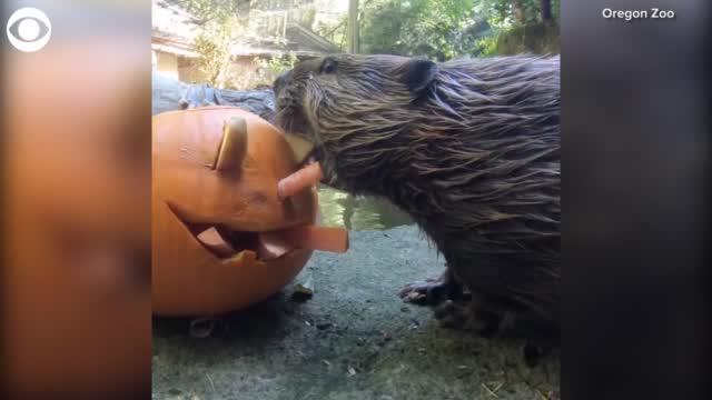 Watch: Beaver Enjoys Halloween-Themed Treat