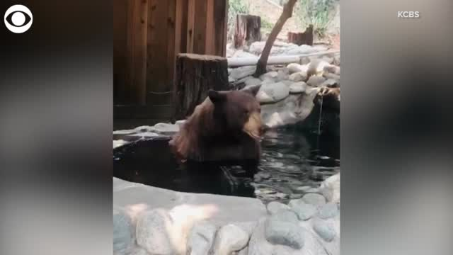 Watch: Bear Takes A Dip In California Pool