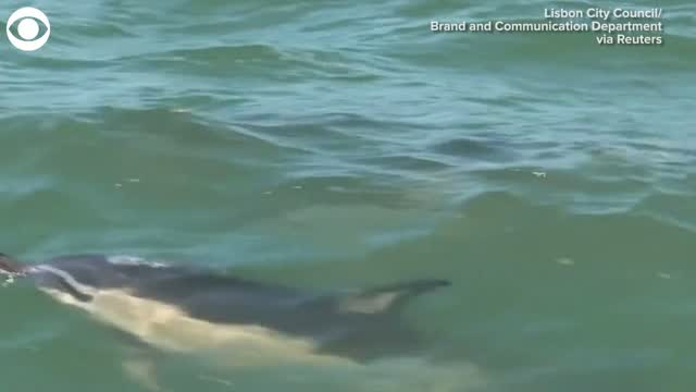 Watch: Dolphins Spotted In River Off Coast Of Lisbon, Portugal