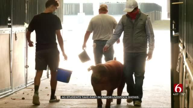 Oklahoma Students Prepare For Junior Livestock Show Despite Fair Cancelation
