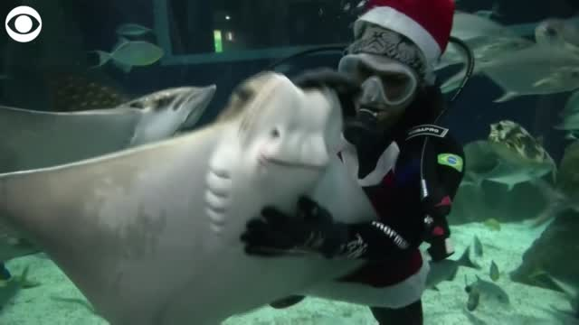 Watch: Santa & Mrs. Claus Feed Sharks, Swim With Sting Rays