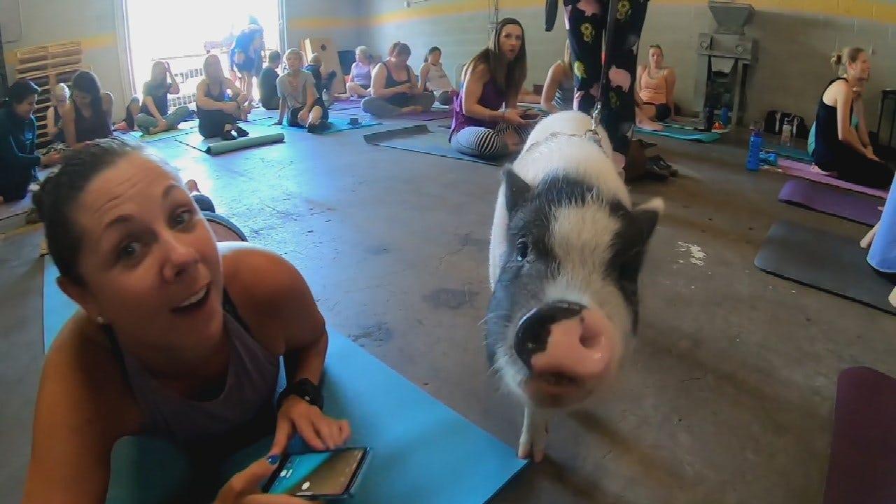 Watch: Colorado Pig Rescue Farm Hosts Pig Yoga Classes
