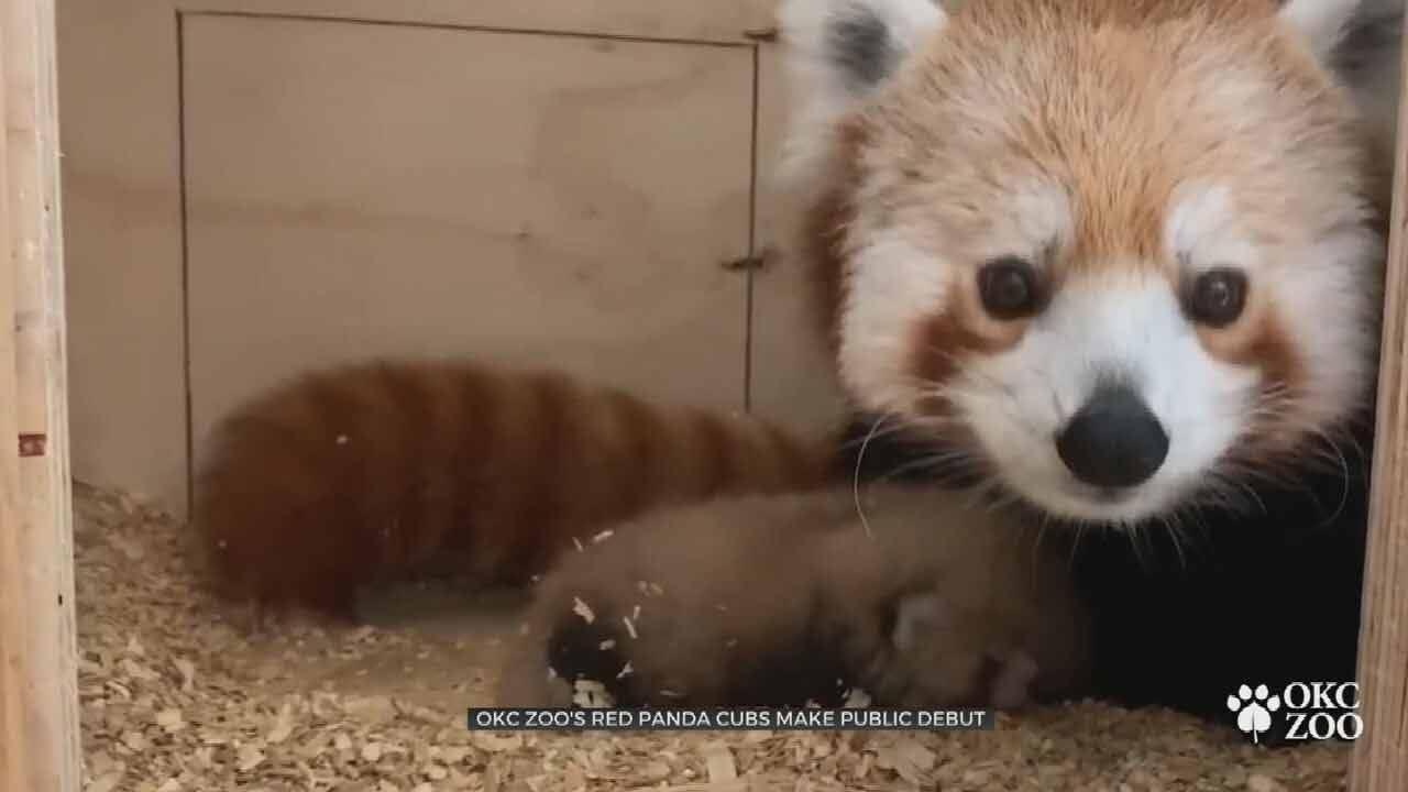 OKC Zoo's Red Panda Cubs Make Public Debut