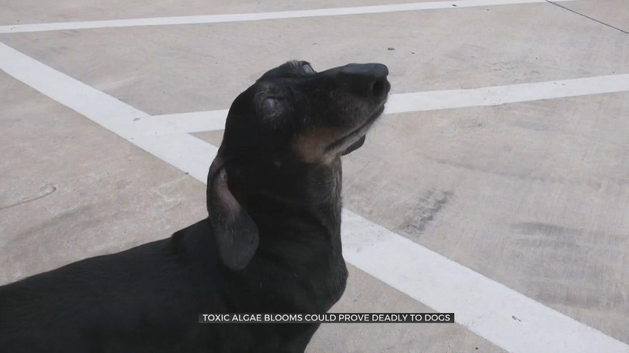 Tulsa Veterinarian: Blue-Green Algae Can Kill Your Animals