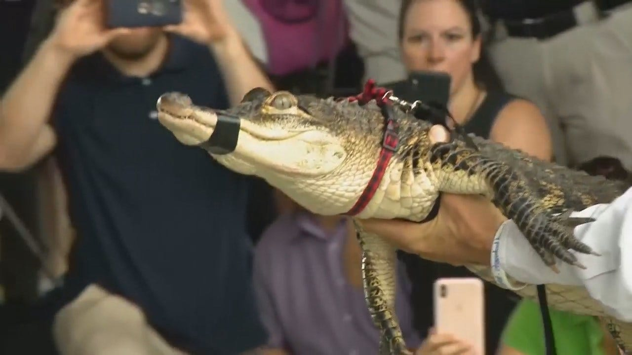 WATCH: Chicago Alligator Captured, Removed From Park Lagoon