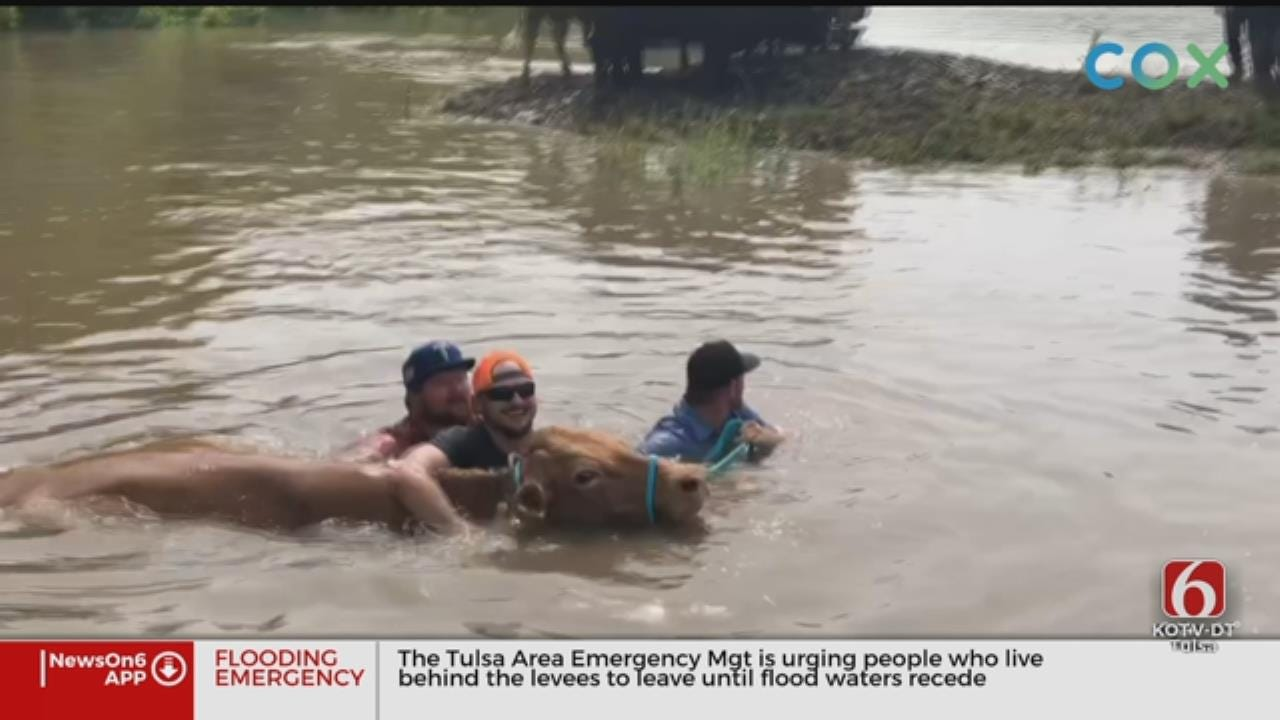 EXCLUSIVE VIDEO: Oklahoma Cowboys Trade Horses For Boats To Rescue Cattle From Rising Water