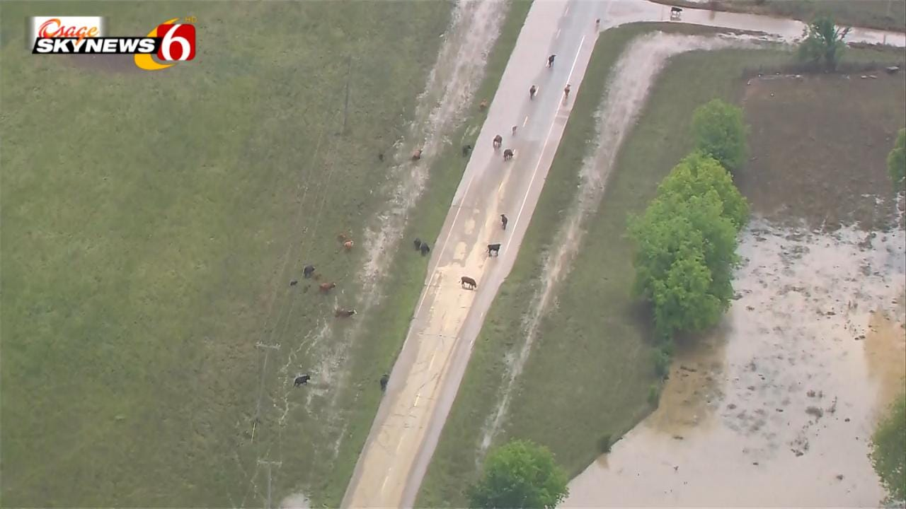 WATCH: Cattle Loose On Highway 62 In Muskogee County Flooding