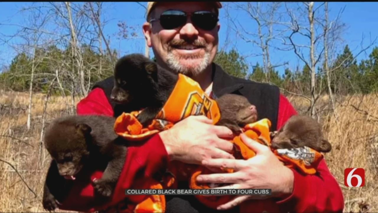 Oklahoma Bear Researchers Make History With Mama Bear, Cubs