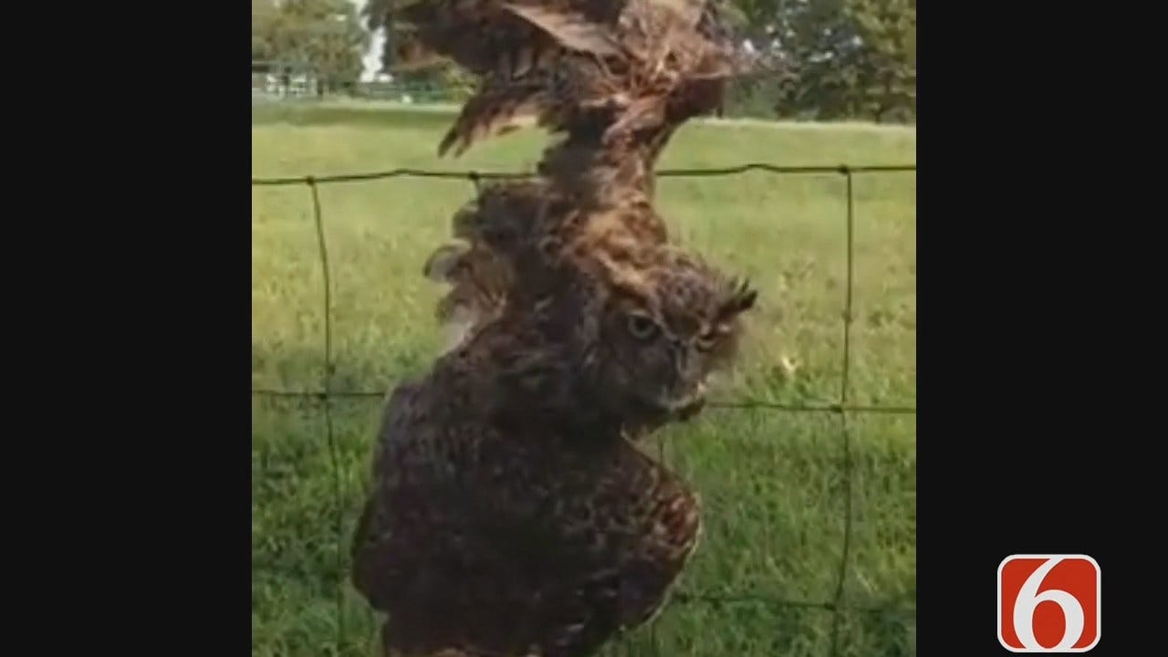 Tess Maune Reports On Rescue Of Owl Tangled In Kellyville Fence