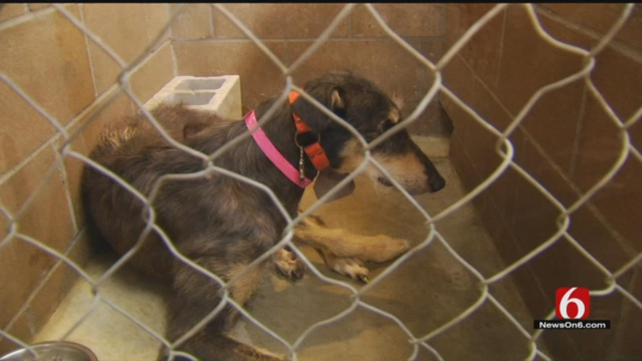 Greyhounds Seized In Animal Cruelty Case Up For Adoption In Tulsa