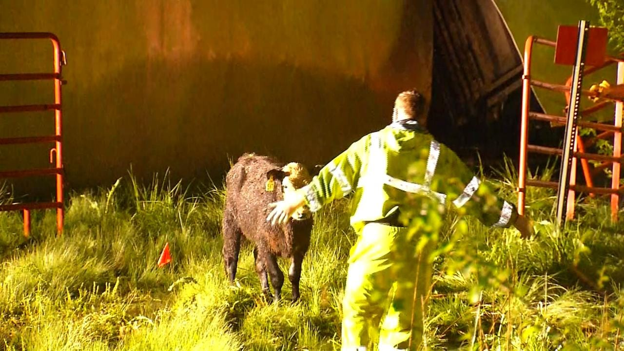 Tony Russell: Calf Escapes Cattle Truck Rollover Wreck