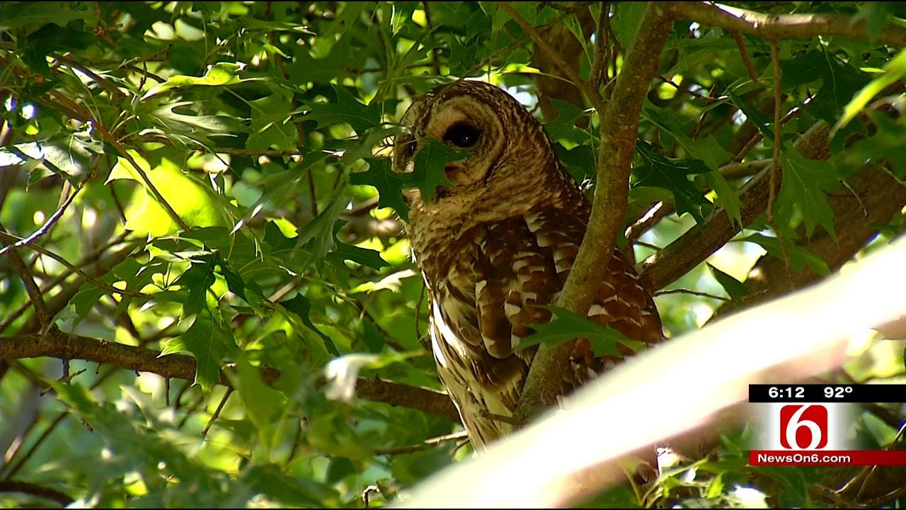 Midtown Tulsa Owl Babies Grow In Size And Number