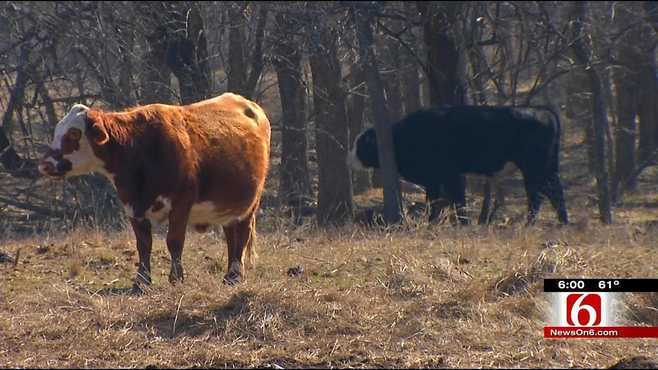 Pregnant Cow Found Shot, Butchered Near Chelsea