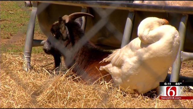 Funny Farm: Tulsa School's Goat, Goose Become Best Friends
