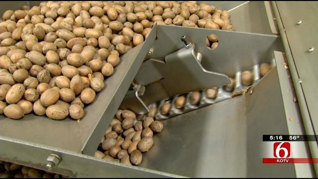 Oklahoma Pecan Harvesting