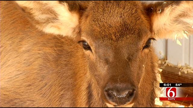 Cherokee County Family's Pet Elk Dies; Reward Up To $3,000 To Find Shooter