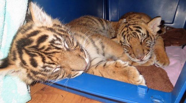 WEB EXTRA: Tulsa Tiger Cub Berani Plays With Brother Dumai