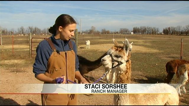 Oklahoma Alpaca Gets Specially Built Prosthetic Leg