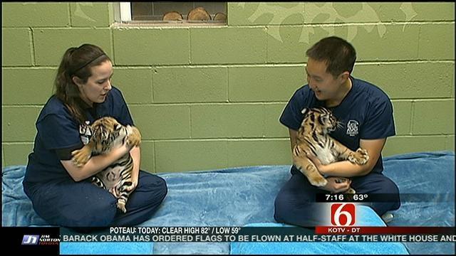 Tulsa Zoo Vet Gives Tiger Cub Berani Update