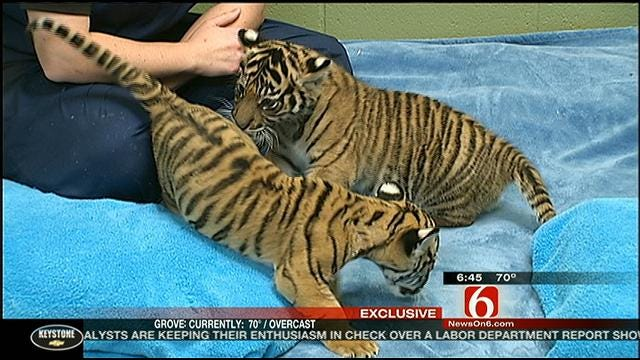 Tulsa Tiger Berani Meets New Family In Washington