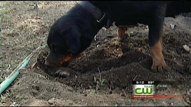 Rottweiler Surprises Owasso Family By Showing Human-Like Behavior