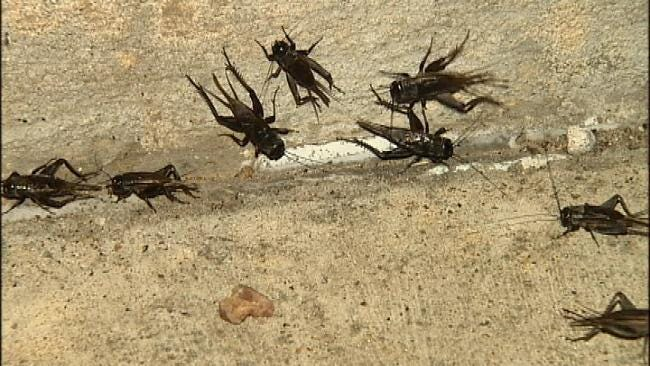 WEB EXTRA: Video Of Crickets At Various Locations In Tulsa And Oklahoma City