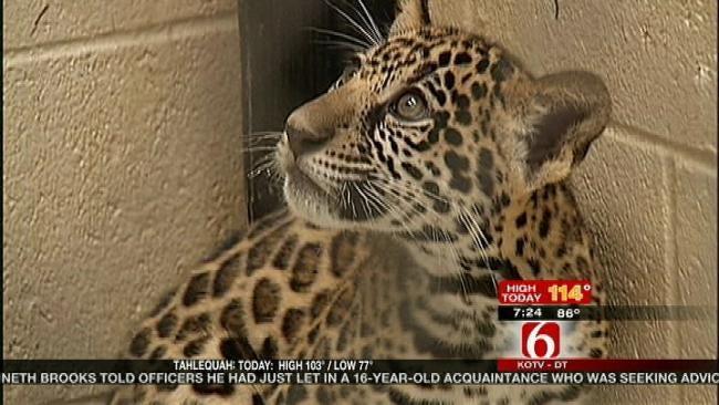 Wild Wednesday: Jaguar Cubs Debut At Tulsa Zoo