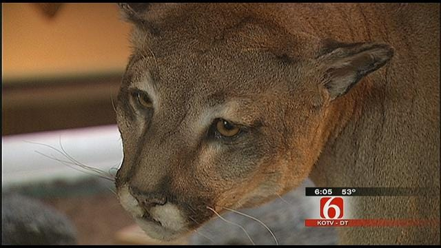 Biologists Study Oklahoma Mountain Lion Population After Latest Sighting