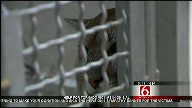 Captured Mountain Lion Continues Her Recovery At Tulsa Zoo