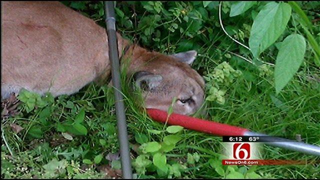 Mountain Lion Captured In North Tulsa Neighborhood