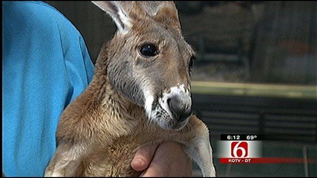 Injured Kangaroo Helps Save Caregiver's Life
