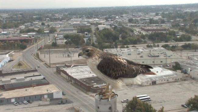 WEB EXTRA: Video Of Red Tailed Hawk Perched In Front Of SKYCAM Camera