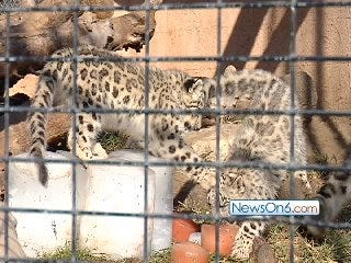 Snow Leopard Cubs Debut at Tulsa Zoo