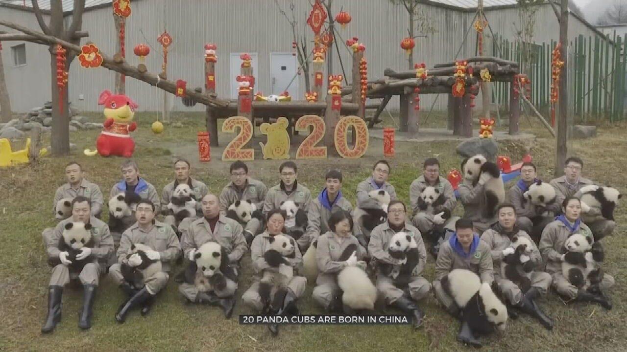 WATCH: 20 Panda Cubs Make Public Debut