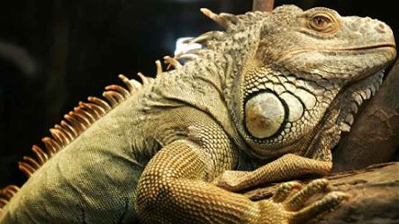 Weather Service Issues Alert For Falling Iguanas As Temperatures Drop In Florida