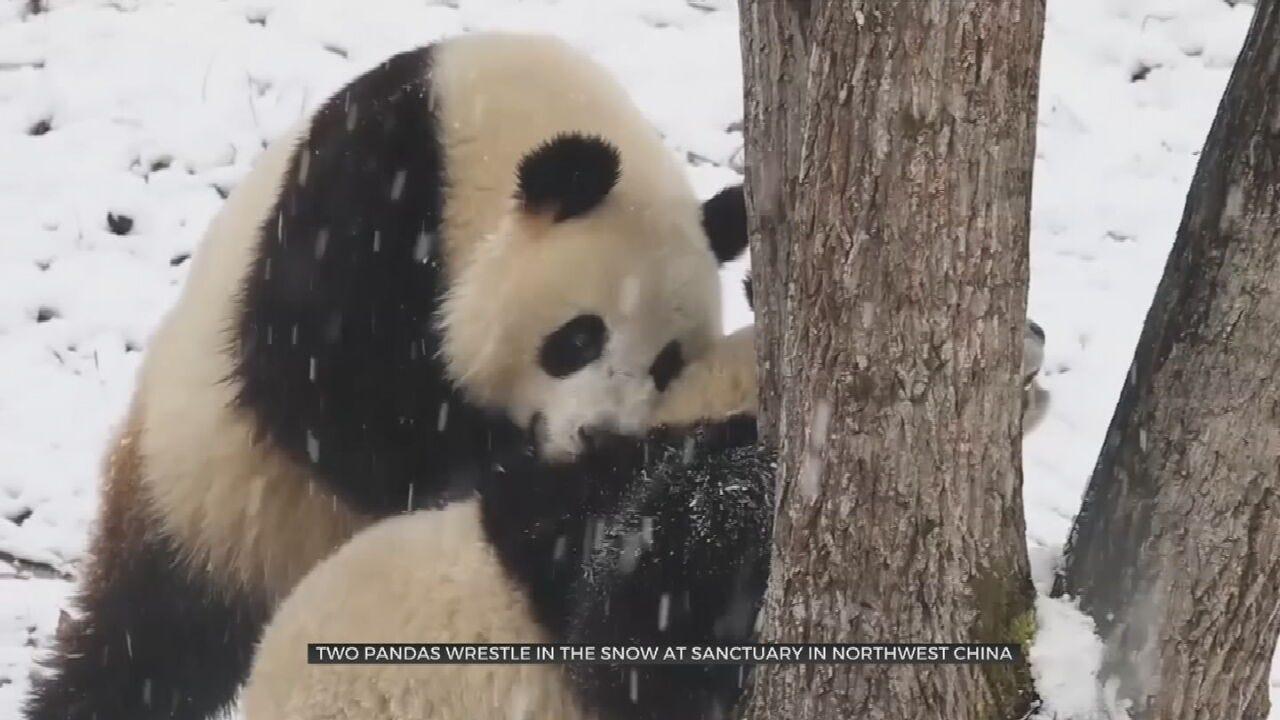 WATCH: Pandas Play In 1st Snowfall Of 2020