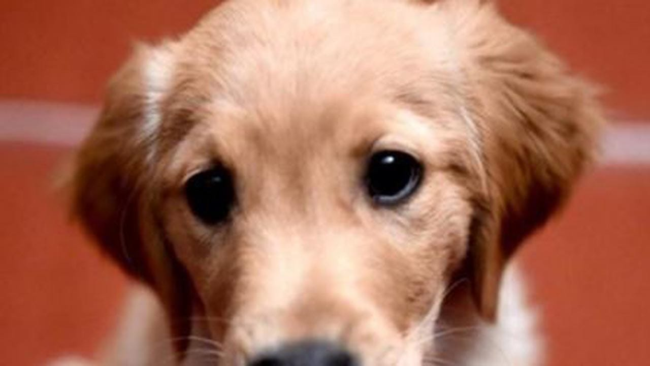 Pet Store Puppies Linked To Outbreak Of Infections In Humans, CDC Says