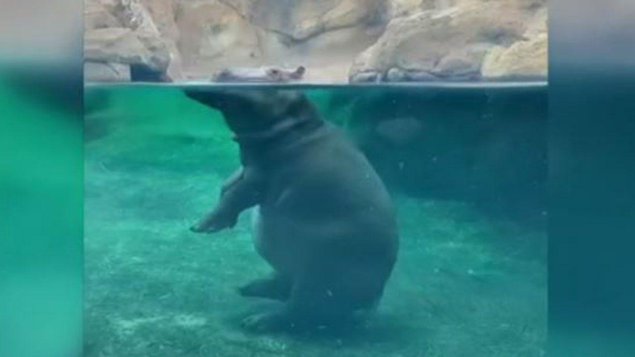 WATCH: Fiona The Hippo Walks Like A Human