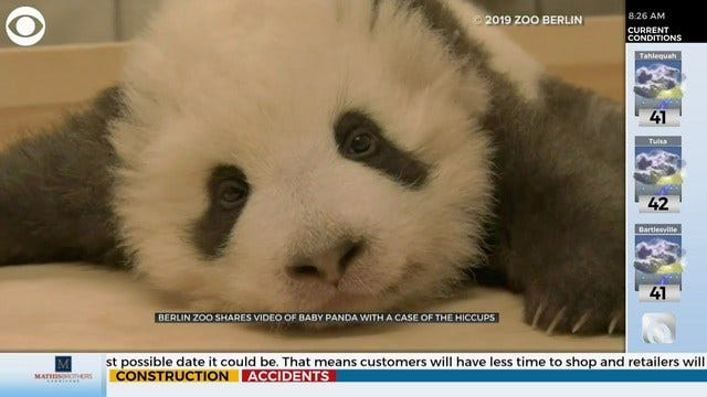 WATCH: Panda Cub Has Case Of The Hiccups