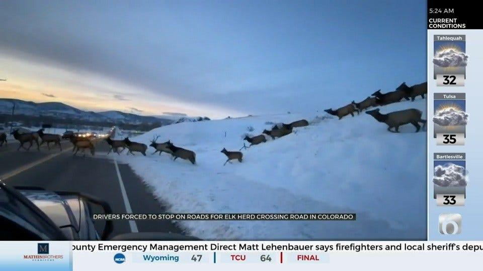 WATCH: Elk Herd Cross Colorado Road, Block Traffic