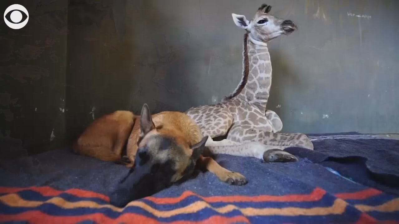 WATCH: Abandoned Baby Giraffe Has Unlikely New Friend
