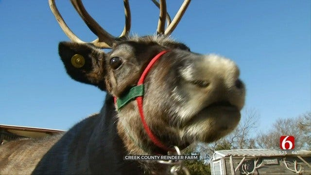 Bristow Man Raising Santa's Reindeer-In-Training