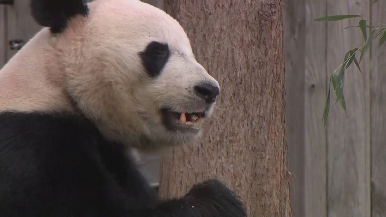 Bei Bei The Giant Panda Leaves Smithsonian's National Zoo