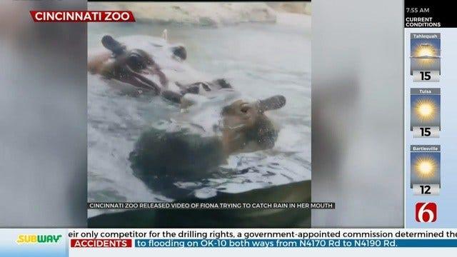 WATCH: Fiona The Hippo Tries To Catch Rain