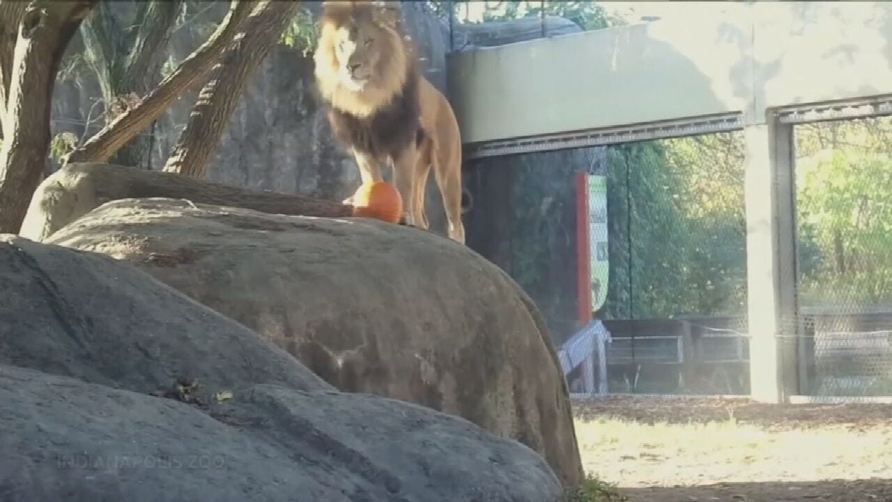 WATCH: Lions Have A Little Fun With Some Halloween Pumpkins