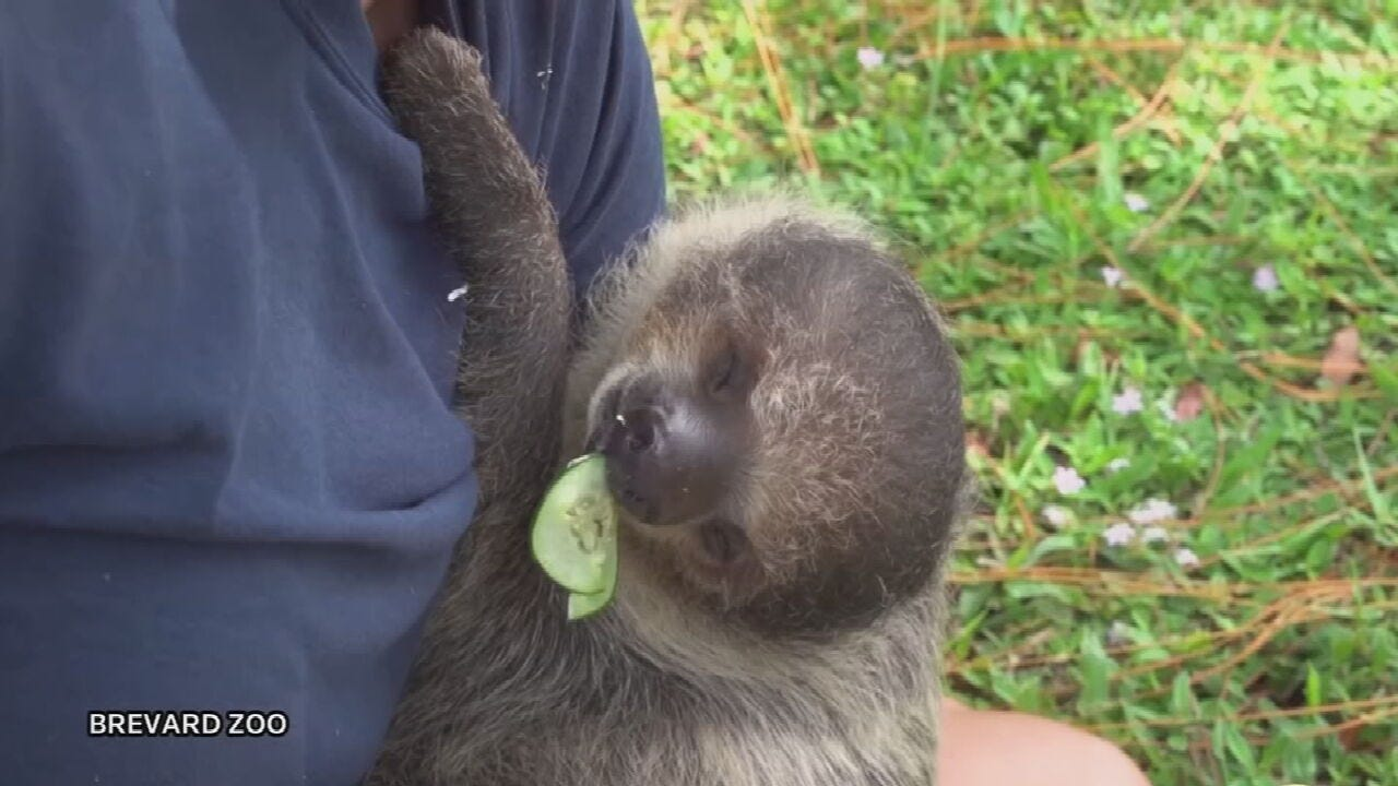 WATCH: Zoo Throws Young Sloth A Veggie Birthday Party