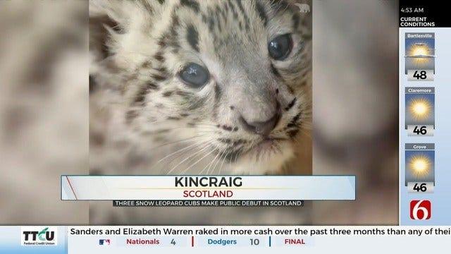WATCH: Snow Leopard Cubs Make Debut