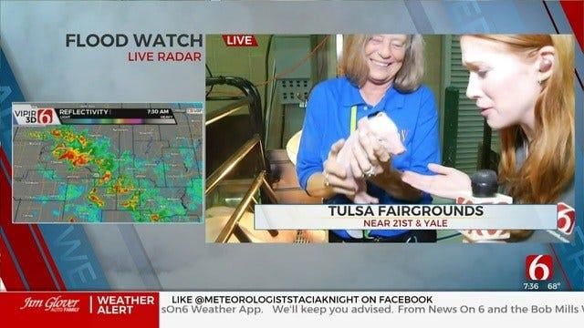 WATCH: Piglets Born At Tulsa State Fair